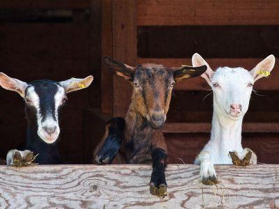 Mleko kozie dla zdrowia